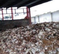 pollos-muertos-granja